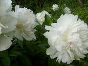 цветы многолетние большой ассортимент